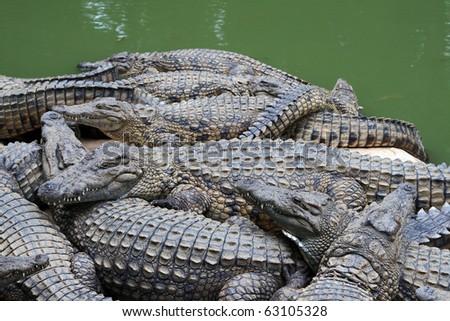 Crocodile beach: crocodiles piling up on beach of a lake. Crocodile farm in Madagascar. - stock photo