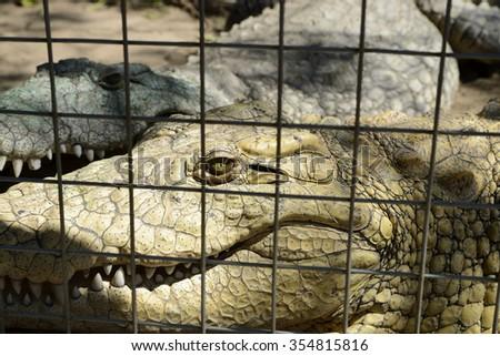 Crocodile behind bars, Hluhluwe, South Africa - stock photo