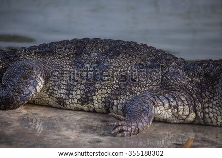 Crocodile body - stock photo