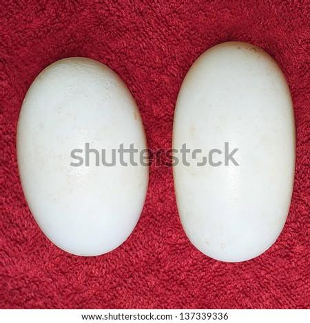 Crocodile eggs. - stock photo