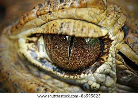 Crocodile Eyes Detail Close Up - stock photo