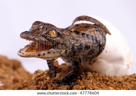 Crocodile Hatching - stock photo