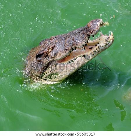 Crocodile head in green river water - stock photo