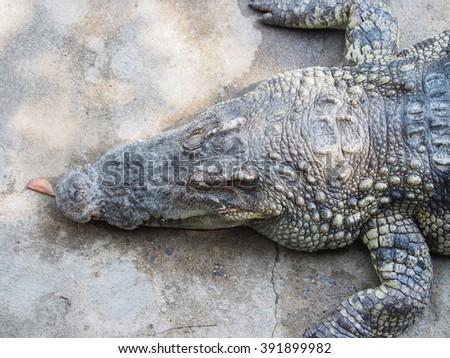 Crocodile in a farm - stock photo