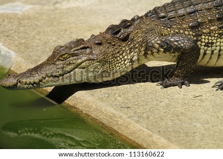 Crocodile in farm