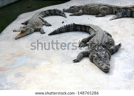 crocodile in farm - stock photo