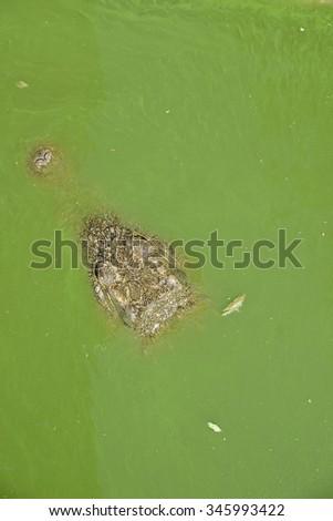 Crocodile in green water (algae) , Hluhluwe, South Africa - stock photo
