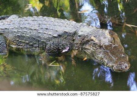 crocodile in lake - stock photo