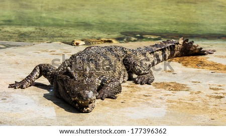 crocodile in thailand - stock photo
