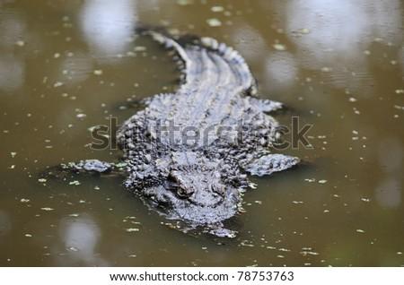Crocodile in the lake - stock photo