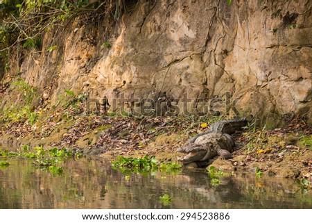 Crocodile in the National Park Chitwan - stock photo
