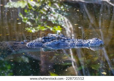 Crocodile in the pond - stock photo