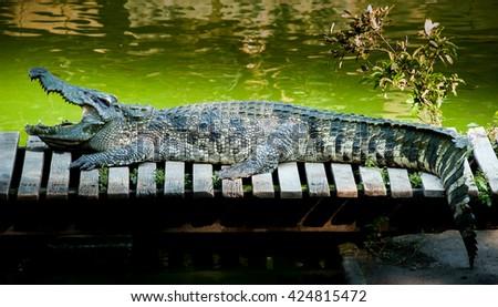 Crocodile in the zoo.   - stock photo