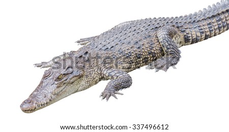 Crocodile Isolated on White Background - stock photo