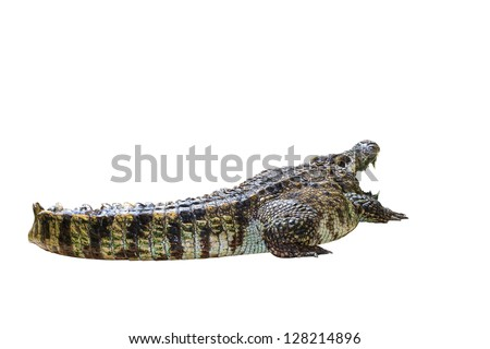 Crocodile isolated on white background - With Clipping Path - stock photo