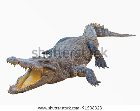 Crocodile isolated on white background with clipping path - stock photo