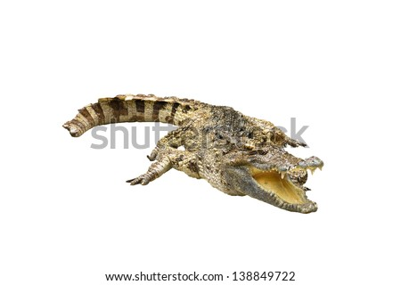crocodile on white background crocodile on white background  strength predator powerful alligator carnivore dangerous crocodile amphibian aggressive aggression