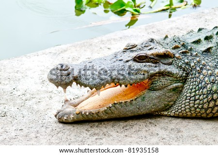 crocodile open mouth relax - stock photo