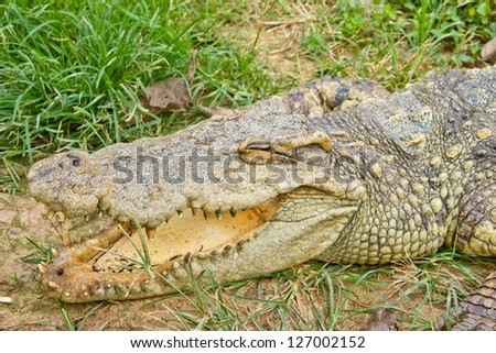 Crocodile opening the mouth resting on the grass