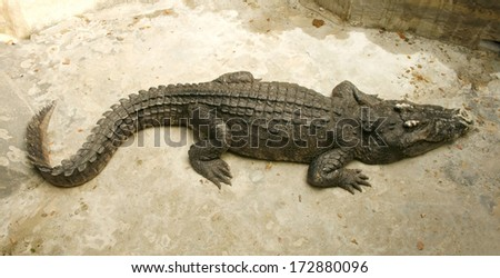 crocodile or alligator in the zoo