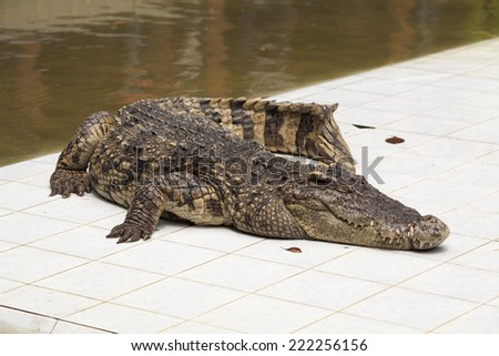 crocodile over white tile near water - stock photo