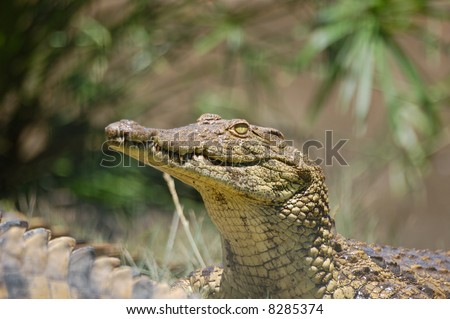 crocodile portrait - stock photo