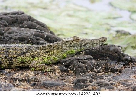 crocodile reptile poredatore freshwater lakes and rivers of Africa south africa kruger national park - stock photo