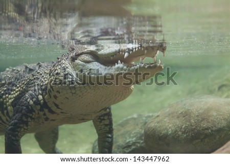 Crocodile swimming under water and waiting for prey - stock photo