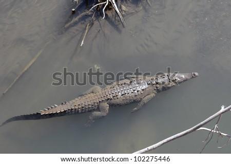 Crocodile,Tarcoles river Costa Rica - stock photo