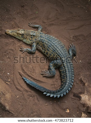 Crocodile Top View Stock Images Royalty Free Images