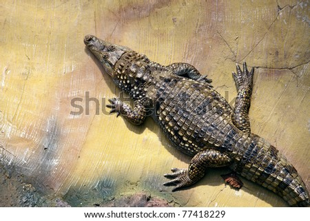 Crocodile, view from above - stock photo