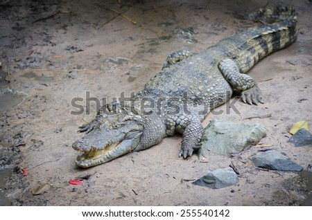crocodile with open jaws lies on sand, full length - stock photo