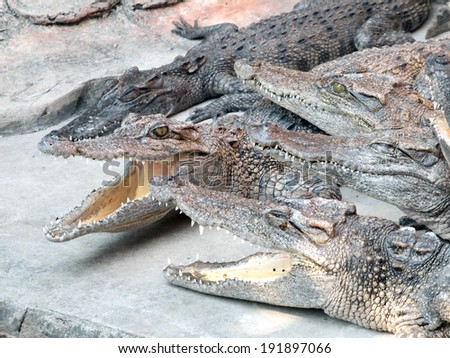 Crocodiles close up in Thailand
