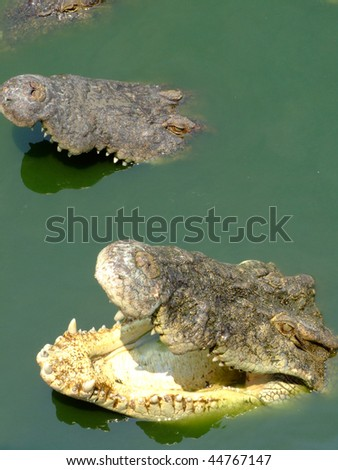 Crocodiles in a lake in Thailand. - stock photo