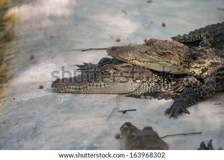 Crocodiles in the zoo - stock photo