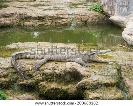Crocodiles lie down on ground