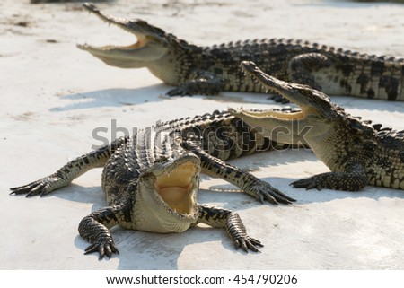 crocodiles sunbathe open mouth and relaxing on the ground