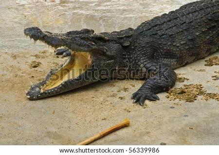 Crocodylidae or crocodile, Thailand - stock photo