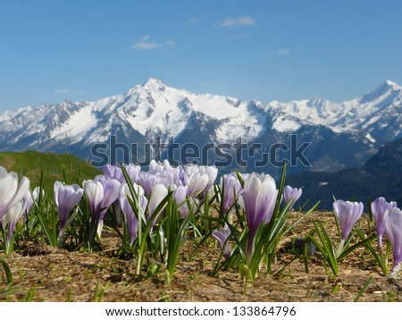 Crocus and Mountain - stock photo