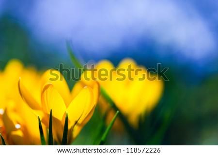 Crocus flower - stock photo