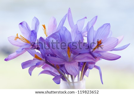 Crocus flower (ethereal composition) in pastel background with copy space - stock photo