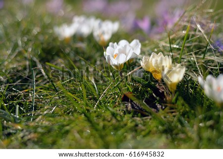 Crocus flower heads. Pretty crocus under the bright sun in spring time. Group of purple and white crocuses. Beautiful spring background. Side view. Flowers blooming in sunny spring day.