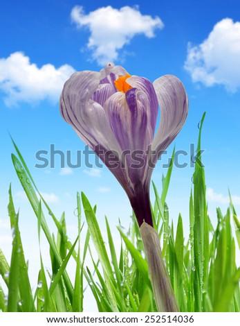 Crocus flower with dewy green grass - stock photo