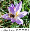 Crocus flowers and bee - stock photo