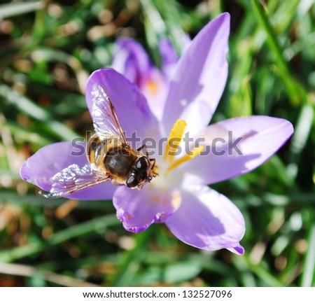 Crocus flowers and bee - stock photo