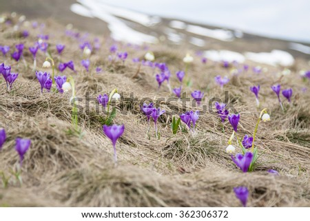 Crocus flowers in early spring in the Carpathian Mountains