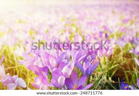 Crocus flowers in spring - stock photo
