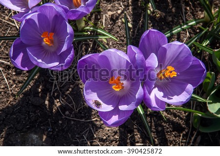 crocus flowers in spring; closeup of a group of purple blossoms of crocus with bee; the crocuses family - stock photo