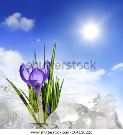 crocus flowers in the snow - stock photo
