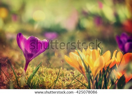 Crocus flowers in the warm rays of spring. - stock photo